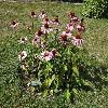 EchinaceaPurpurea.jpg 1024 x 768 px 323.82 kB