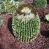 EchinocactusGrusonii10.jpg 1127 x 845 px 345.14 kB