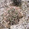 EchinocactusPolycephalusXeranthemoides.jpg 1000 x 750 px 335.04 kB