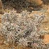 EchinocereusBrandegeei.jpg 600 x 800 px 431.79 kB