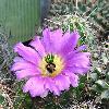 EchinocereusCinerascens.jpg 950 x 839 px 348.99 kB