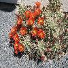 EchinocereusCoccineus2.jpg 480 x 360 px 65.41 kB