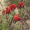EchinocereusCoccineus4.jpg 1216 x 912 px 711.59 kB