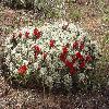 EchinocereusCoccineus5.jpg 1216 x 912 px 747.03 kB
