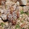 EchinocereusEngelmannii7.jpg 1201 x 804 px 307.24 kB