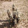 EchinocereusEngelmannii9.jpg 1201 x 804 px 316.38 kB