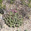 EchinocereusEnneacanthus2.jpg 1000 x 750 px 381.59 kB