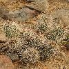 EchinocereusFasciculatus.jpg 600 x 800 px 429.71 kB
