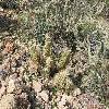 EchinocereusLedingii2.jpg 1131 x 849 px 369.23 kB