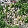 EchinocereusLedingii.jpg 1110 x 833 px 356.98 kB