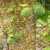 EchinocystisLobata2.jpg 615 x 820 px 177.12 kB