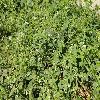 EchinocystisMacrocarpa2.jpg 903 x 600 px 442.04 kB
