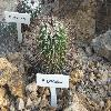EchinofossulocactusGladiatus.jpg 1024 x 768 px 229.57 kB
