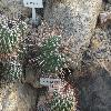 EchinofossulocactusHastatus.jpg 1024 x 768 px 242.49 kB