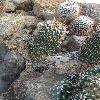 EchinofossulocactusHookeri.jpg 720 x 960 px 430.29 kB