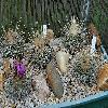 Echinofossulocactus.jpg 1308 x 878 px 683.07 kB