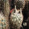 EchinomastusDurangensis2.jpg 640 x 480 px 178.16 kB
