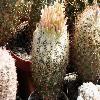 EchinomastusDurangensis.jpg 640 x 480 px 157.59 kB