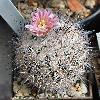 EchinomastusHispidus.jpg 841 x 908 px 371.64 kB