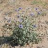 EchinopsAlbicaulis4.jpg 900 x 1200 px 442.53 kB