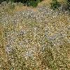 EchinopsBannaticusTaplowBlue5.jpg 1127 x 845 px 321.11 kB