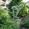 EchinopsBannaticusTaplowBlue8.jpg 681 x 908 px 203.2 kB