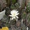 EchinopsisAncistrophora.jpg 1073 x 846 px 194.5 kB