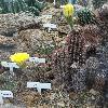EchinopsisAureaFallax.jpg 681 x 908 px 428.81 kB