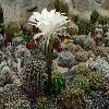 EchinopsisChacoana.jpg 1101 x 826 px 182.88 kB