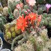 EchinopsisChamaecereus3.jpg 640 x 480 px 167.75 kB