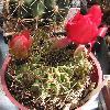 EchinopsisCinnabarina.jpg 756 x 838 px 142.85 kB
