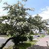 ElaeagnusAngustifolia4.jpg 638 x 850 px 169.45 kB