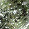 ElaeagnusAngustifolia7.jpg 638 x 850 px 102.53 kB