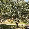 ElaeagnusAngustifolia.jpg 576 x 768 px 220.89 kB