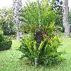 Encephalartos2.jpg 1136 x 852 px 323.07 kB
