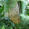 EncephalartosAltensteini2.jpg 960 x 1280 px 217.51 kB