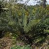 EncephalartosEugenemaraisii.jpg 797 x 1200 px 588.32 kB
