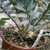 EncephalartosFerox4.jpg 615 x 820 px 134.25 kB