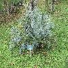 EncephalartosHorridus4.jpg 1136 x 852 px 382.23 kB