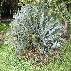 Encephalartos.jpg 1136 x 852 px 366.23 kB