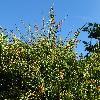 EphedraFragilis.jpg 720 x 960 px 460.71 kB