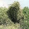 Ephedra.jpg 1095 x 821 px 345.52 kB