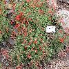 EpilobiumCanum.jpg 1024 x 768 px 323.59 kB