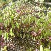 Epimedium.jpg 1127 x 845 px 340.06 kB