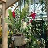 EpiphyllumAckermanii.jpg 1024 x 768 px 231.99 kB