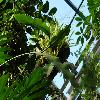 EpiphyllumOxypetalum4.jpg 1024 x 768 px 174.59 kB