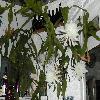 EpiphyllumOxypetalum.jpg 800 x 600 px 143.78 kB