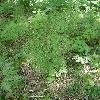 EquisetumArvense2.jpg 634 x 845 px 171.97 kB