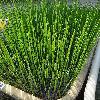 EquisetumFluviatile.jpg 681 x 908 px 250.14 kB