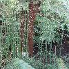 EquisetumGiganteum2.jpg 681 x 908 px 436.21 kB